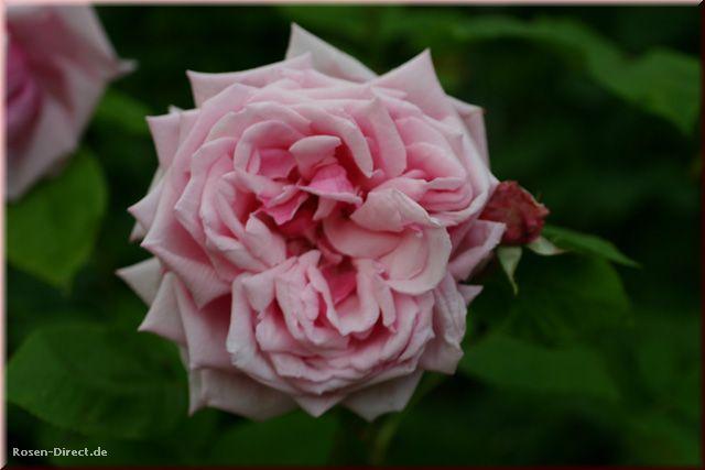 Розовый венец. Розою о розе (о сортах роз). Часть 1. (640x427, 28Kb)