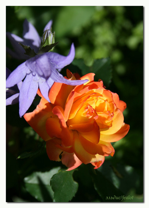 Розовый венец. Розою о розе (о сортах роз). Часть 1. (502x699, 86Kb)