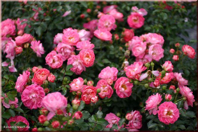 Розовый венец. Розою о розе (о сортах роз). Часть 1. (640x427, 62Kb)