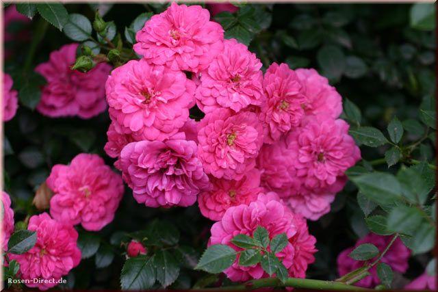 Розовый венец. Розою о розе (о сортах роз). Часть 1. (640x427, 50Kb)