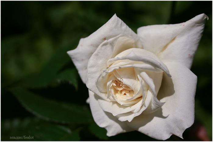 Розовый венец. Розою о розе (о сортах роз). Часть 1. (699x466, 70Kb)
