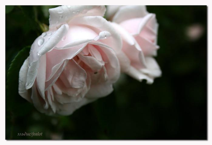 Розовый венец. Розою о розе (о сортах роз). Часть 1. (699x478, 56Kb)