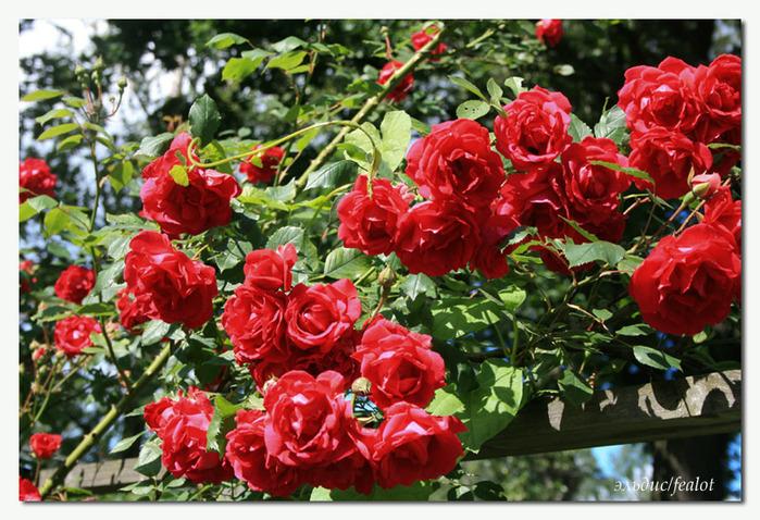 Розовый венец. Розою о розе (о сортах роз). Часть 1. (699x478, 185Kb)