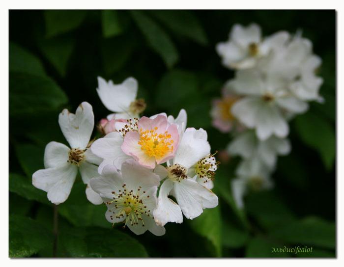 Розовый венец. Розою о розе (о сортах роз). Часть 1. (700x544, 82Kb)
