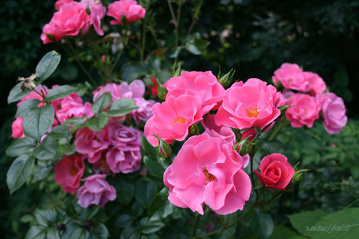 Розовый венец. Розою о розе (о сортах роз). Часть 1. (699x466, 120Kb)