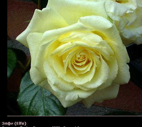 Розовый венец. Розою о розе (о сортах роз). Часть 1. (485x434, 60Kb)