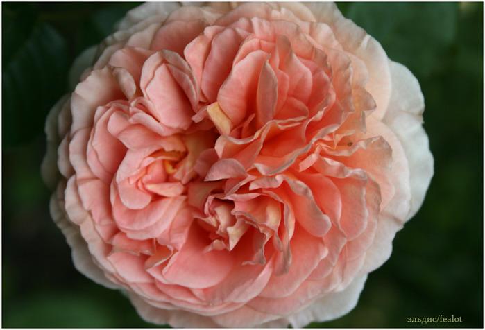 Розовый венец. Розою о розе (о сортах роз). Часть 2. (699x476, 94Kb)