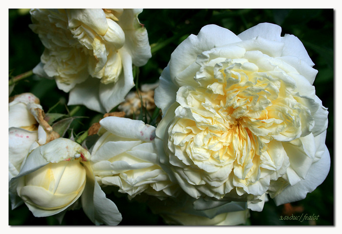 Розовый венец. Розою о розе (о сортах роз). Часть 2. (699x478, 115Kb)
