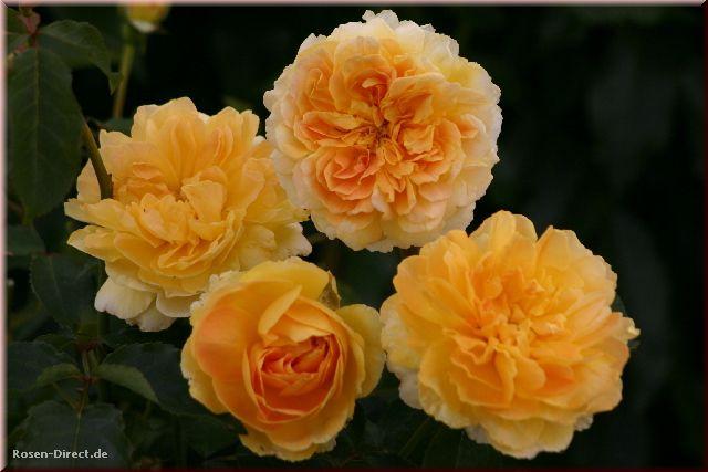 Розовый венец. Розою о розе (о сортах роз). Часть 2. (640x427, 37Kb)