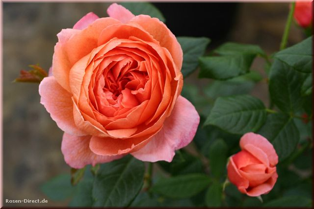 Розовый венец. Розою о розе (о сортах роз). Часть 2. (640x427, 36Kb)