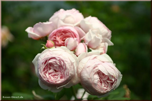 Розовый венец. Розою о розе (о сортах роз). Часть 2. (640x427, 33Kb)
