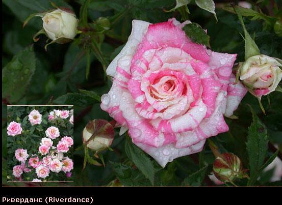 Розовый венец. Розою о розе (о сортах роз). Часть 2. (553x403, 85Kb)
