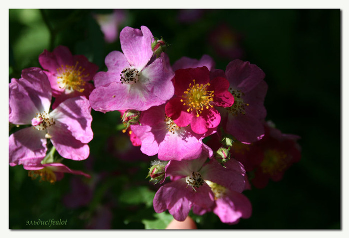 Розовый венец. Розою о розе (о сортах роз). Часть 2. (699x478, 87Kb)