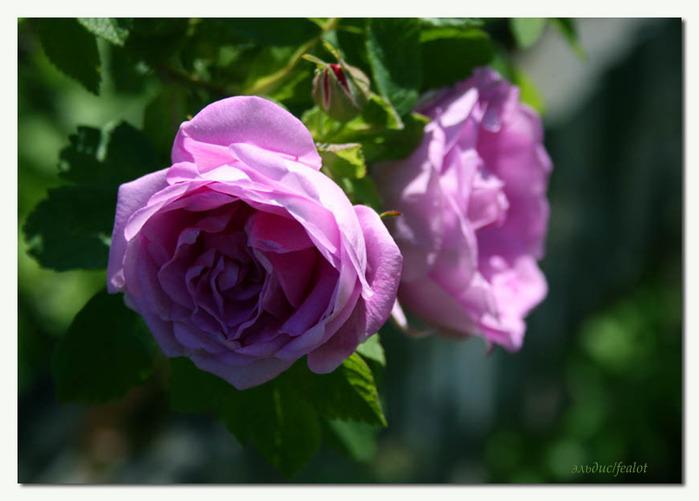Розовый венец. Розою о розе (о сортах роз). Часть 2. (699x501, 80Kb)