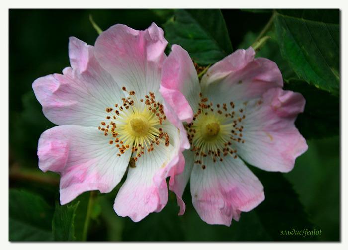 Розовый венец. Розою о розе (о сортах роз). Часть 2. (700x504, 97Kb)