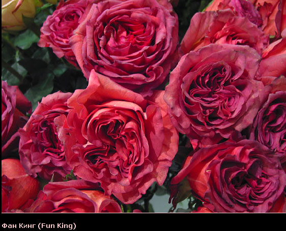 Розовый венец. Розою о розе (о сортах роз). Часть 2. (562x455, 109Kb)
