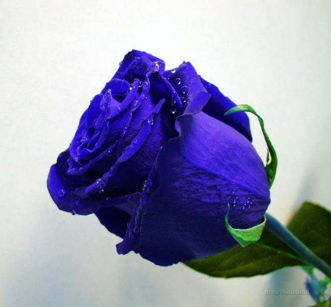 Чудо синих роз.  ТАНЮША.