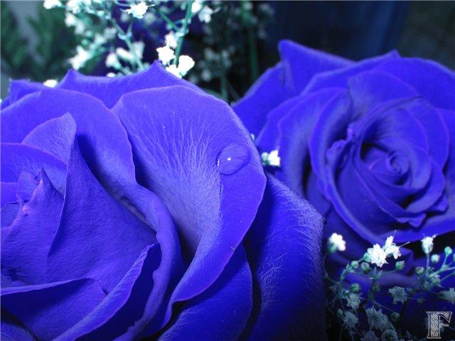 HD обои Синие розы, Синий, Цветы, Розы, Растения, 3d картинки.