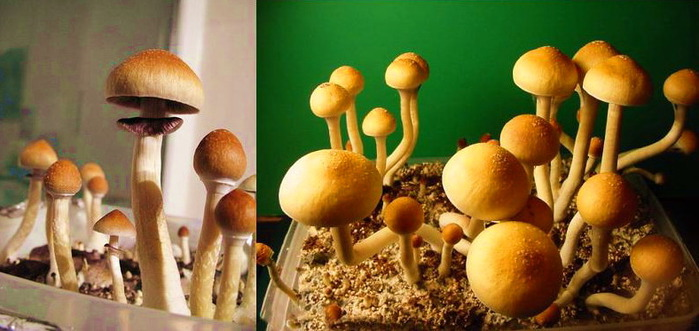 effects of psilocybin psilocin mushrooms on the
