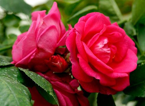 столовые ложки измельченных сухих лепестков роз; - 2-4 ложки.