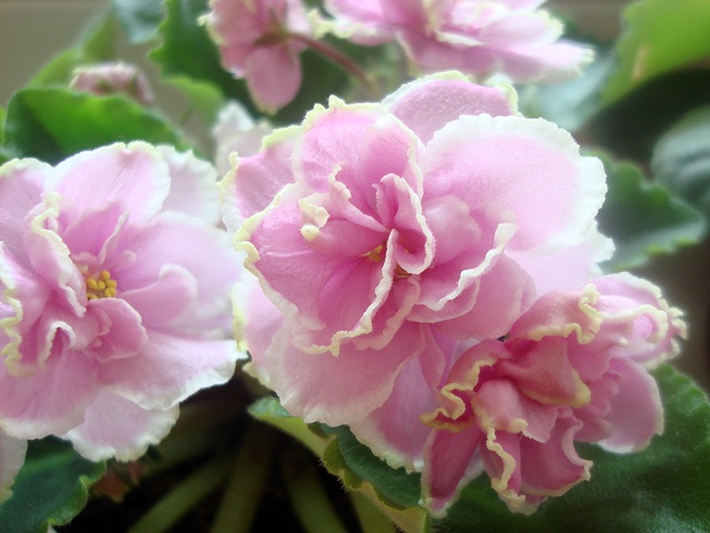 этой фиалка розовая сказка фото и описание одном