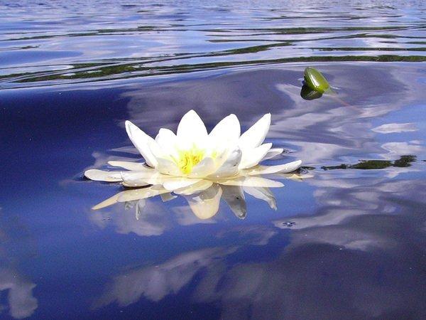 Водяная лилия - очаровательная и нежная белая кувшинка.