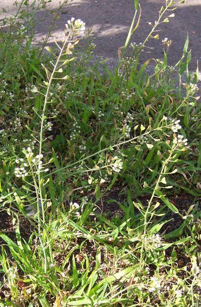 Camilla.  КЛЮЧЬ...  Детские цветы - пастушья сумка. в Втр, 27/09/2011...