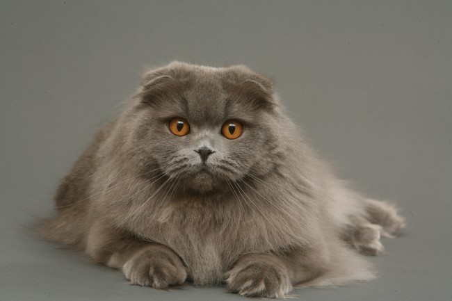 scottish-fold-cinza-gato (650x433, 53Kb)