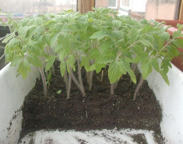 как получить ранний картофель через рассаду