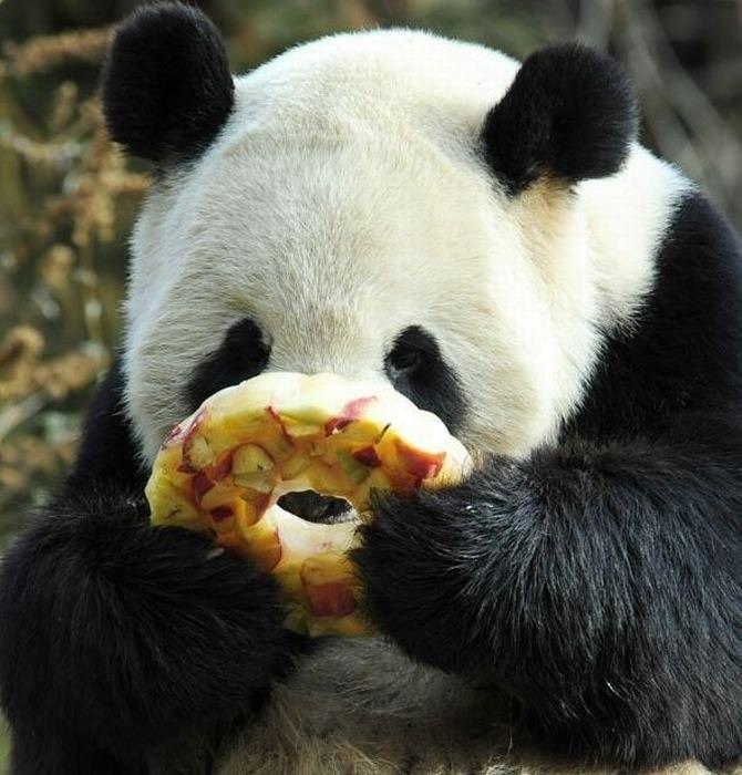 Днем народження, картинки приколы с пандами