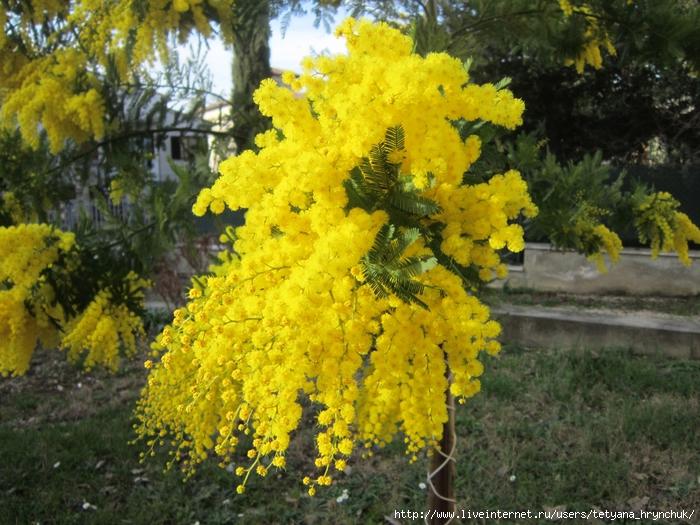Фото цветов акации серебристой