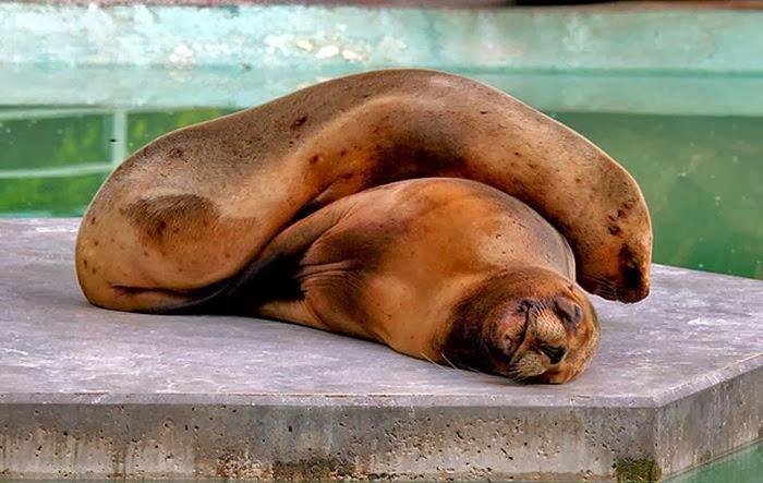 http://img1.liveinternet.ru/images/attach/c/10/110/966/110966317_cute_animals_sleeping_pillows_17.jpg