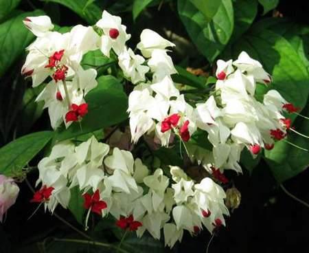 Комнатный цветок с белыми маленькими цветочками 145