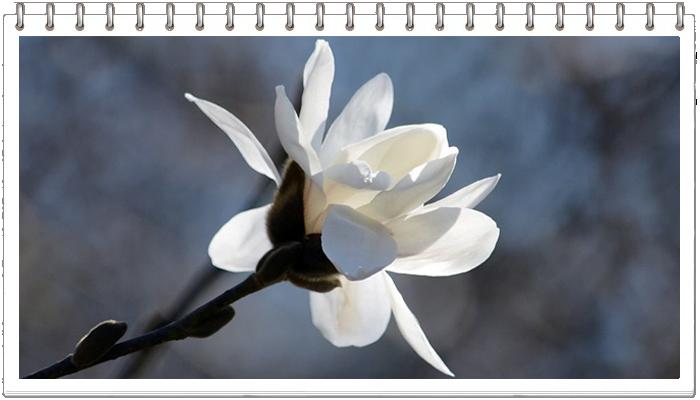 киев весна магнолии ботсад