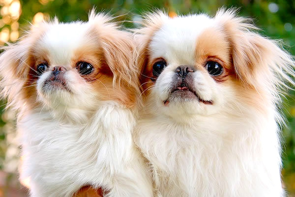 5639700_b_0_650_00___images_dogs_japanesechin1 (600x401, 146Kb)