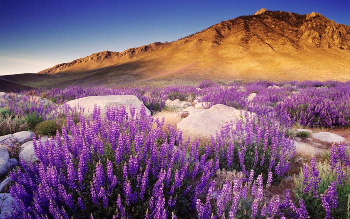 purple-mountain-flowers-wallpapers_38232_1280x800 (610x337, 505Kb)