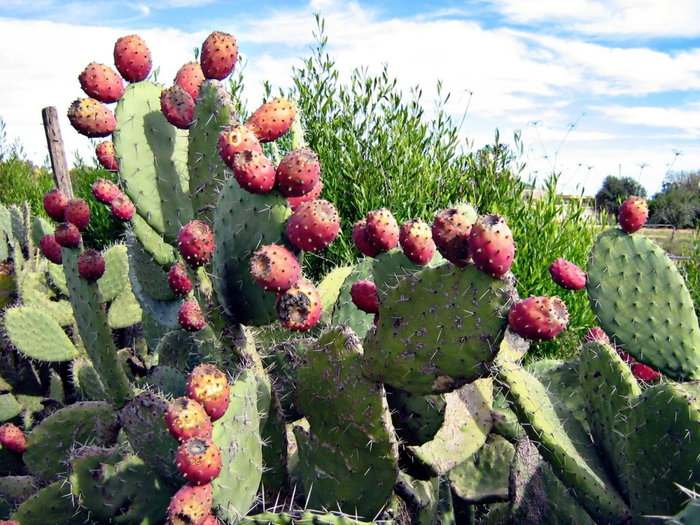 4638534_3462Indian_Fig__Opuntia_ficusindica (700x525, 353Kb)