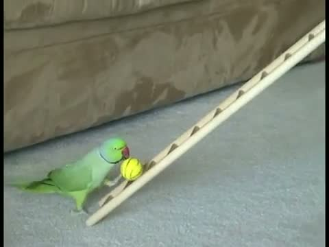 дрессированный попугай/3518263_206694 (480x360, 12Kb)