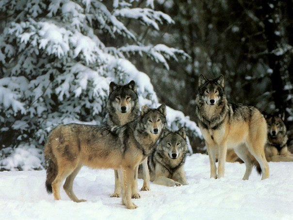 Картинки по запросу волки йеллоустонский парк
