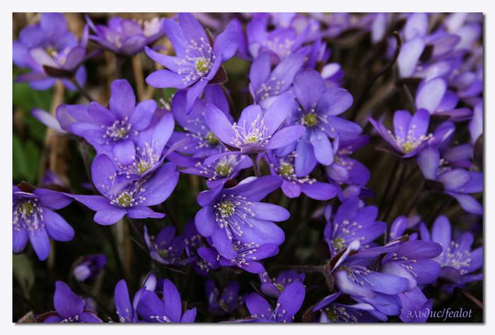 цветы почвопокровные однолетники фото с названиями