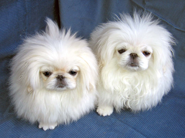 фото собаки пекинесы