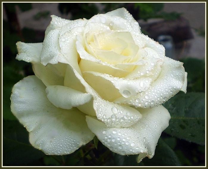 сети фото белой розы на снегу пусть ваши дети