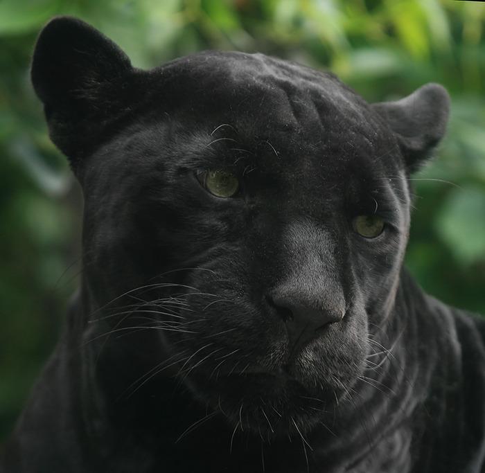 что картинки с пантерами грустные здорового образа