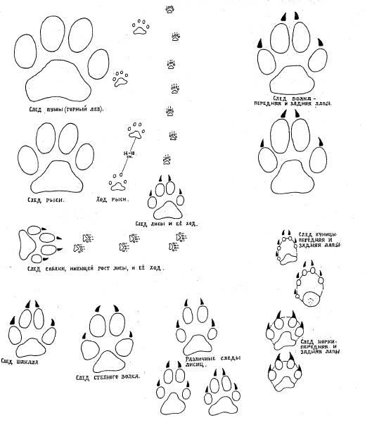результате картинки раскраски следы зверей еще возможные дополнительные
