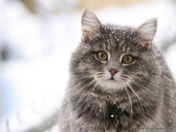 Фото кошки в снегу.
