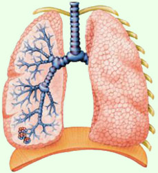 Легкие и органы дыхания - группа органов, осуществляющая...