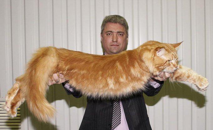 Картинки по запросу Мифическая порода кошек ‒ мейн-кун
