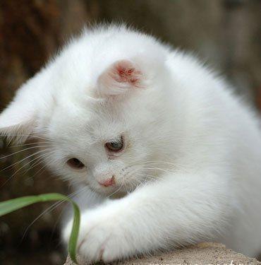 пушистые белые котята фото.