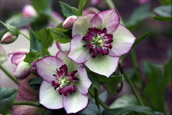helleborus pictures from spring scenics photos on webshots (550x368, 531Kb)