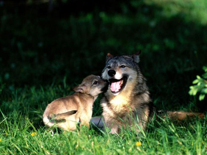 Mothers-Love---Wolf-With-Cub-1 (700x525, 50Kb)